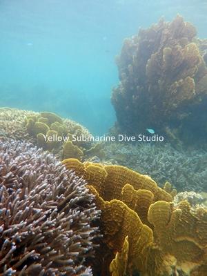 モリモリ珊瑚