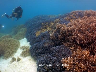 珊瑚いしわたり